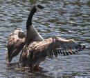 A goose cools ...