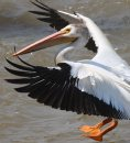 A pelican comes in for a landing Wednesday afternoon on the Red River at Lockport, Manitoba - Standup photo- June 27, 2012   (JOE BRYKSA / WINNIPEG FREE PRESS)