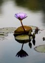 A water lily ...