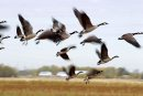 Canada Geese ...