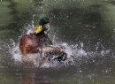 A mallard duck ...