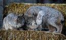 Three lynx ...