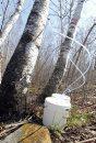 Birch syrup ...