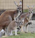 Red kangaroos ...