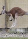 A Red Kangaroo ...