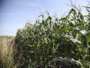 A corn crop ...