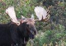A bull moose ...