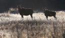 A cow moose ...