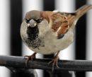 A sparrow ...