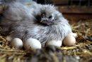 A Silkie hen ...