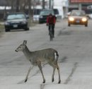 Deer crosses ...