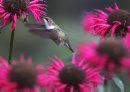A Ruby Throated hummingbird works its magic in the last of the flowers at the English Garden at Assiniboine Park-Standup Photo- Sept 11, 2014   (JOE BRYKSA / WINNIPEG FREE PRESS)
