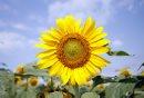 MIKE APORIUS/WINNIPEG FREE PRESS STANDUP - pretty sunflower in field off HWY 206 near Bird's Hill Park Thursday August 09/2007