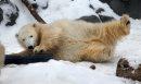 Polar bear cub ...