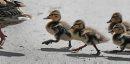 JOE.BRYKSA@FREEPRESS.MB.CA Local-(Standup photo)  -    Wait Up Mom- Young mallard ducklings try and catch up to mom on a path Friday afternoon at St Vital Park- July 23 , 2010, - JOE BRYKSA/WINNIPEG FREE PRESS