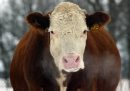 MIKE APORIUS/WINNIPEG FREE PRESS BUSINESS - cow on farm owned by cattle farmer Lloyd Buchanan near Argyle Wednesday afternoon -see Larry Kusch's story  January 04/2006