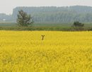 Marc Gallant / Winnipeg Free Press. Local- Deer in Canola field near Elma, Manitoba. 060706.