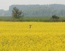 Marc Gallant / Winnipeg Free Press. Local- Deer in Canola field near Elma, Manitoba. 060706.