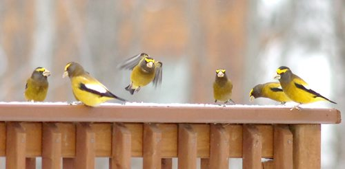 Brandon Sun A group of male evening grosbeaks congregate on the railing of an Onanole area residence during Tuesday's Christmas bird count. (Bruce Bumstead/Brandon Sun)