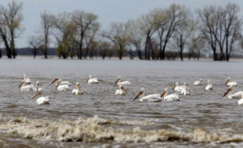 MIKE.DEAL@FREEPRESS.MB.CA 110519 - Thursday, May 19, 2011 -  Trees mark the edge of field on Tony Peters farmland while pelicans enjoy the rough waters where hundreds of carp were making their way through the breach in the Portage Diversion. Tony Peters and his family have been farming the land north of HWY 227 on the west side of the Portage Diversion for over 50 years and they now fear that the breach in the diversion has caused so much damage over the years that they will be unable to use the land for crop ever again. See Melisa Martin story. MIKE DEAL / WINNIPEG FREE PRESS