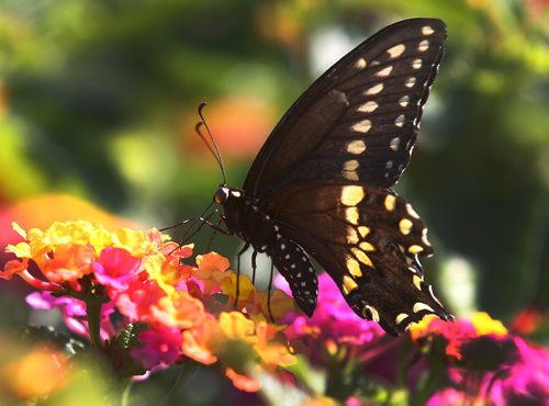 A black swallowtail butterfly land on Lantana flowers Sunday morning at the Assiniboine Park English Gardens- standup photo – August 14, 2011   (JOE BRYKSA / WINNIPEG FREE PRESS)