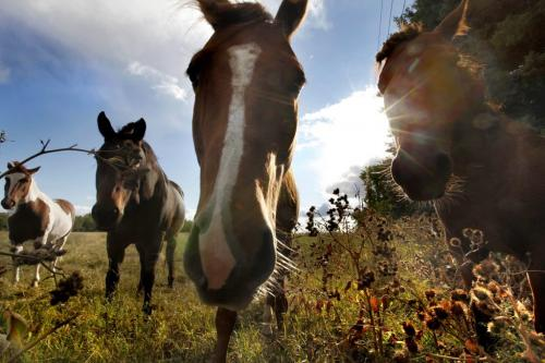 A group of Horese pose for the camera in the early evening light at Southcreek Stables in Stl Norbert Wednessday. Sept  14, 2011 (RUTH BONNEVILLE) / WINNIPEG FREE PRESS)