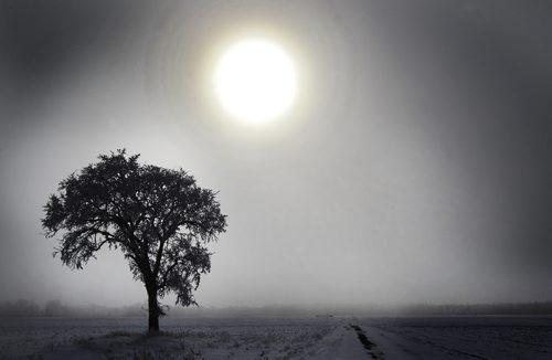 The sun peers through the fog to illuminate a tree covered in hoar frost near Headingley, Manitoba Thursday- Standup photo- February 02, 2012   (JOE BRYKSA / WINNIPEG FREE PRESS)