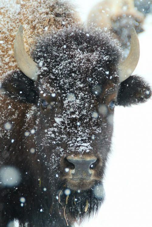 Snow settles onto one of the bison at FortWhyte Alive Wednesday afternoon as Winnipeg experienced its first decent snow fall of the new year.  120215 Mike Deal / Winnipeg Free Press