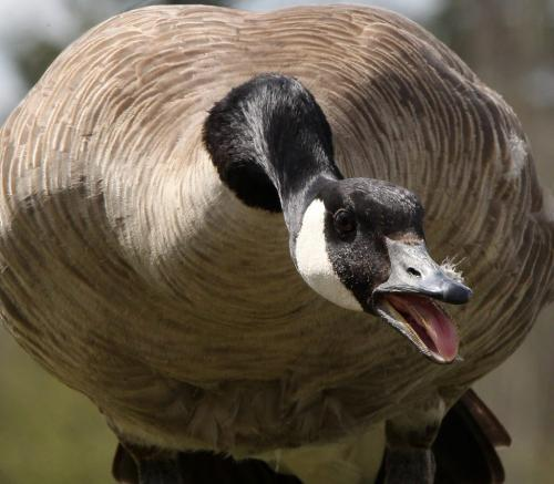 A Canada goose protects her nest full of eggs Monday on campus at the University of Manitoba- Standup photo- Apr 30, 2012   (JOE BRYKSA / WINNIPEG FREE PRESS)