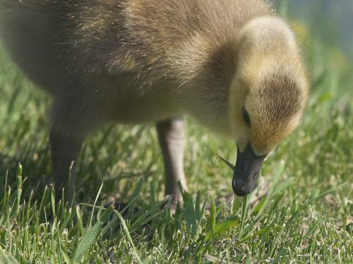 Young goslings are growing up quickly near Cresent Lake in Portage La Prairie, Manitoba- See Bryksa 30 Day goose project- Day 11- May 15, 2012   (JOE BRYKSA / WINNIPEG FREE PRESS)