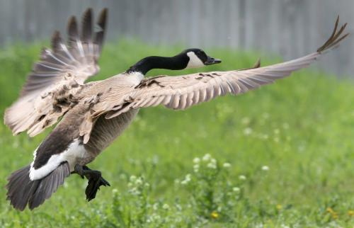 A goose flys defensively to protect their young Wednesday near Kenaston Blvd and Waverley -See Bryksa 30 Day goose challenge- Day 16 - May 23, 2012   (JOE BRYKSA / WINNIPEG FREE PRESS)