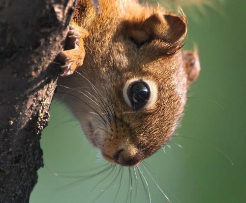 A squirrel enjoys the morning sunshine next to the duck pond in Assiniboine Park Wednesday– June 27, 2012   (JOE BRYKSA / WINNIPEG FREE PRESS)