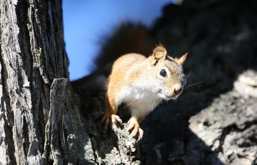 A red squirrel peaks out of the shade in a tree in East Fort Garry, Sunday, September 9, 2012. (TREVOR HAGAN/WINNIPEG FREE PRESS)
