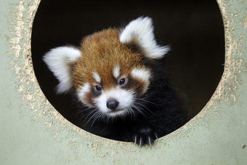A baby Red Panda in her area at the Zoo. International Red Panda Day is Saturday September 15th and the Assiniboine Park Zoo will be celebrating in a big way! The Zoo is home to three red pandas - Rufus, Rouge and their cub who was born on June 30 of this year. The female cub has yet to be named and the Assiniboine Park Zoo is asking the community to help. September 14, 2012  BORIS MINKEVICH / WINNIPEG FREE PRESS