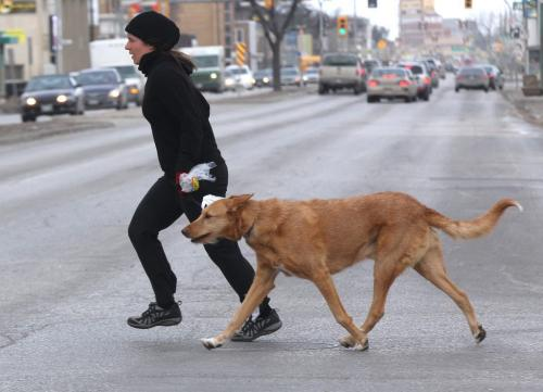 Windy Morning– A pedestrian and her dog run across Notre Dame Ave at Arlington St. Wednesday morning fighting the brisk south winds – The winds will bring warmer temperatures into southern Manitoba with a predicted high of 3 C today- standup photo- April 03, 2013   (JOE BRYKSA / WINNIPEG FREE PRESS)