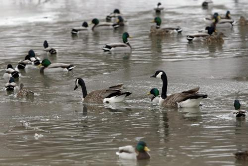 STDUP - About 60 Canada Geese and Mallard ducks are occupying a small body of open water  on Sturgeon Creek just south of Portage Ave . The cooler spring has  stopped  the melt along rivers and streams necessary for the migrating birds , the ice melt has also created  weak ice conditions that  humans should avoid on foot or on snow mobiles . KEN GIGLIOTTI / April . 3 2013 / WINNIPEG FREE PRESS