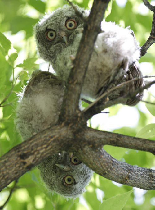 Crowded out of the old West Kildonan tree cavity where they were hatched, screech owlets sit in a row on Tuesday, June 18, 2013. According to area residents, the owlets parents have returned for the past four consecutive years. This year, there are five owlets in all. (JESSICA BURTNICK/WINNIPEG FREE PRESS)