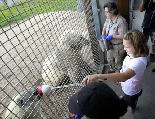Olivia Clement,11, from the Ottawa area has raised over $12,000 for polar bear conservation (donation to the World Wildlife Fund) got an opportunity to take part in the positive reinforcement training of the polar bears Storm and Hudson with bear keepers Jesse Kindzierski (right)  and Jenna Harrison at the Assiniboine Park Zoo Friday. Olivia is concerned about the effects of global warming on polar bears so she  began crafting and selling hand-made polar bear figurines and launched the LivPolarBear website. The Assiniboine Park Conservancy hosted the visit for Olivia's first time to see live polar bears. Olivia will be back at the Zoo from 11:00 am to 1:00 pm on Saturday,  to sell her hand-made polar bear figurines outside the Tundra Grill in Journey to Churchill with proceeds to be donated to the Assiniboine Park Zoo.   see release Wayne Glowacki / Winnipeg Free Press July 25  2014
