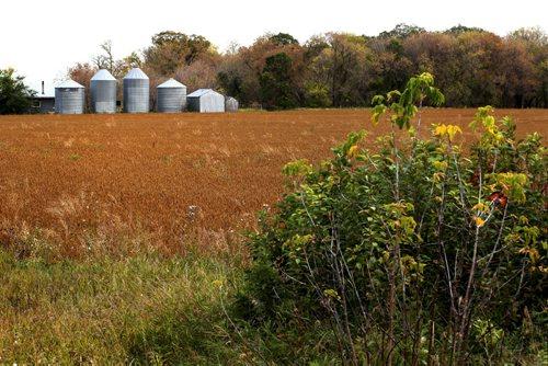 Generic shots of farm field for story to illustrate low grain prices weakening the demand for farmland in Manitoba.  Photos taken northwest of Winnipeg.   Oct 02,  2014 Ruth Bonneville / Winnipeg Free Press