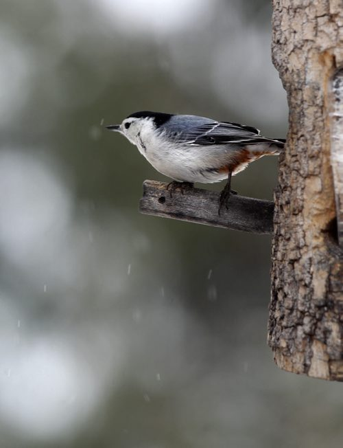 Close-up shot of White breasted nuthatch on one of Paul Buchanan's bird feeders set up in his yard.   Story on Bird watching enthusiast Paul Buchanan, who sets up his bird feeders while listening and watching for various many species of birds.  See Ashley Prest story.  Feb 10, 2015 Ruth Bonneville / Winnipeg Free Press