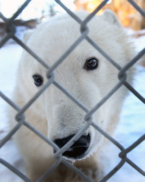 One of two polar  bear cubs that arrived from near Churchill, Manitoba about a month ago to the Leatherdale International Polar Bear Conservation Centre at Assiniboine Park Zoo  - The bears mother was accidentally shot and caused MB Conservation to make a decision to have the young bears mature in Winnipeg – The bears are expected to be in isolation for 1 year before they could possibly be released into the Journey to Churchill exhibit- See story–Nov 30, 2015   (JOE BRYKSA / WINNIPEG FREE PRESS)