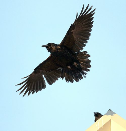 """A """"Conspiracy"""" of Ravens made up of thousands of the black birds, takes over the rooftops at HSC at dusk every evening. See story.....January 29, 2016 - (Phil Hossack / Winnipeg Free Press)"""