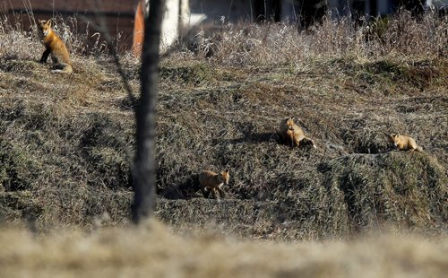 BORIS MINKEVICH / WINNIPEG FREE PRESS Some baby foxes enjoy the warm sun in St. Boniface Thursday. Mother is nearby on watch for danger.  FROM http://www.canadiangeographic.ca/ The red fox is a small dog-like mammal, with a sharp-pointed face and a light body build that allows it to be quick on its feet. The red fox is known for its long bushy tail and lustrous rusty or orangish-red fur. The red fox has a dark muzzle and black ears and paws. Its tail-tip, throat and under parts are generally white. While male and female foxes look similar, the male fox is called a dog and is usually slightly larger than the female vixen.  The red fox has a litter of one to ten pups between March and May every year. The young are born blind and aren't able to open their eyes until they're about two weeks old. After one month, fox pups are weaned off their mother's milk and start eating pre-chewed food. After about seven months, young red foxes are able to hunt on their own and leave their parents in search of their own territory. Some foxes have been known to travel up to 250 km to find a suitable home.  The red fox generally lives on the edges of wooded areas, prairies and farmlands. Foxes only use dens when they are breeding. These dens are usually dug in sand and soil. When building the den, the fox makes sure there is more than one entrance in case of danger. When the red fox is not breeding, it sleeps in the open and keeps warm by wrapping itself with its long bushy tail. Red foxes are nocturnal, but it's not unusual for them to be spotted during the day. They also have exceptional sight, smell and hearing abilities which makes them excellent hunters. Unlike other mammals, the red fox is able to hear low-frequency sounds which help them hunt small animals, even when they're underground!  The red fox preys primarily on small animals such as voles, mice, lemmings, hares and rabbits. They also like the taste of chicken and have been called chicken thieves by many farmers. The red f