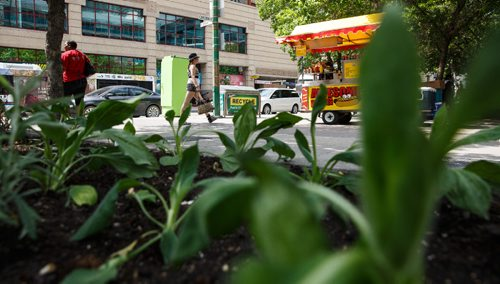 MIKE DEAL / WINNIPEG FREE PRESS People walking along Portage Avenue can now admire more greenery in the concrete jungle as the Indigenous Gardens returns to Air Canada Park for a third year. The special garden is an initiative of the Downtown Winnipeg BIZ's Aboriginal Peoples' Advisory Committee and Placemaking Committee. It's larger and has signage that highlights information regarding the plants and their qualities, showcasing a variety of Indigenous plants and materials. 170606 - Tuesday, June 06, 2017.