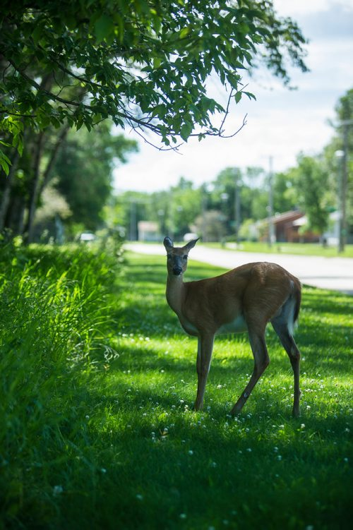 MIKAELA MACKENZIE / WINNIPEG FREE PRESS A deer in Pinawa on Wednesday, July 4, 2018. Mikaela MacKenzie / Winnipeg Free Press 2018.