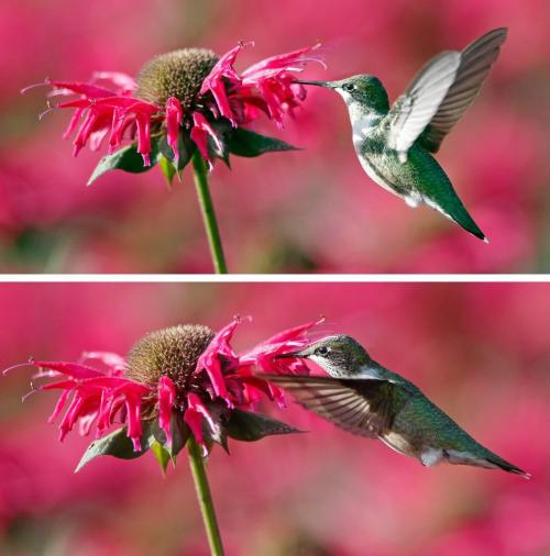 JOE.BRYKSA@FREEPRESS.MB.CA Local-(Standup photo)- Humming Around- A female ruby -throated hummingbird fly's through the bee bomb  flowers Friday at the Assiniboine Park English Garden- Nectar from flowers are their main source of food. Hummingbirds wings can beat as fast as 75x times second. Better get a glimpse of them soon the birds fly far south for the winter - from Mexico to South America- JOE BRYKSA/WINNIPEG FREE PRESS- Sept 10, 2009