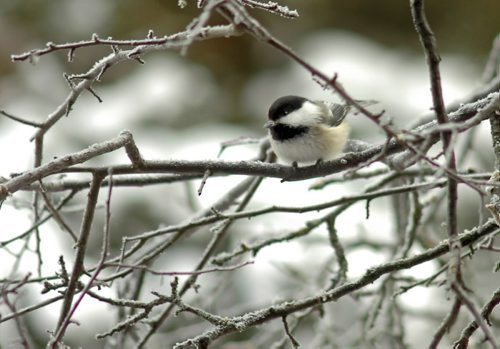 Brandon Sun A black-capped chickadee clings to a tree branch in Wasagaming during the Christmas bird count held at Riding Mountain National Park on Tuesday. (Bruce Bumstead/Brandon Sun)
