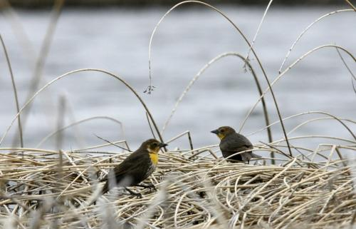 MIKE.DEAL@FREEPRESS.MB.CA 100519 - Wednesday, May 19th, 2010 OPASKWAYAK CREE NATION Students from the land-based education course at Joe E. Ross School. Some of the wildlife on Pike Lake included many yellow-headed blackbirds. These are females which don't have the same distinctive colouring as the male birds. See Nick Martin story. MIKE DEAL / WINNIPEG FREE PRESS