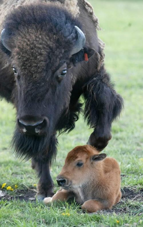 Marc Gallant/Winnipeg Free Press. Local/Standup- BABY BISON. Fort Whyte Centre's newest mother gently nudges her 50 pound, female bull calf awake. Calf born yesterday. 25 now in herd. Four more calfs are expected over the next four weeks. It is the bison's second calf. June 7, 2002.