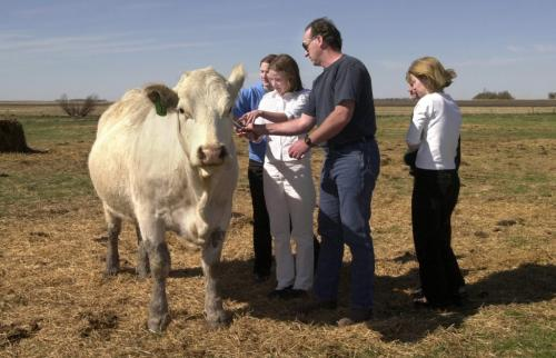 April 30, 2000--Waskada, MB--Waskada area farmer Norm McGregor (centre) shows Sophie Knowles (white shirt and pants-left), 15, and other members of the St. Andrew's River Heights United Church youth choir how to scratch a  charolais cow while taking farm tour. The church choir was out to the south-west Manitoba town to sing at the Waskada United Church. Photo by Fred Greenslade